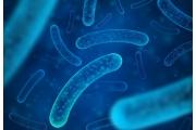 保護植物健康的益生菌 – 蕈狀芽孢桿菌